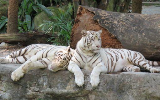 1日満喫!充実のシンガポール観光&人気動物園