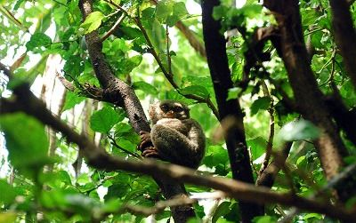 【ジャカルタ発】タルシウスに会いに行こう!タンココ国立公園~スラウェシ島~
